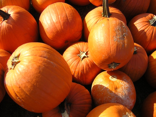 Pumpkin patches open a variety of pumpkin based fall activities (Photo courtesy of Creative Commons).